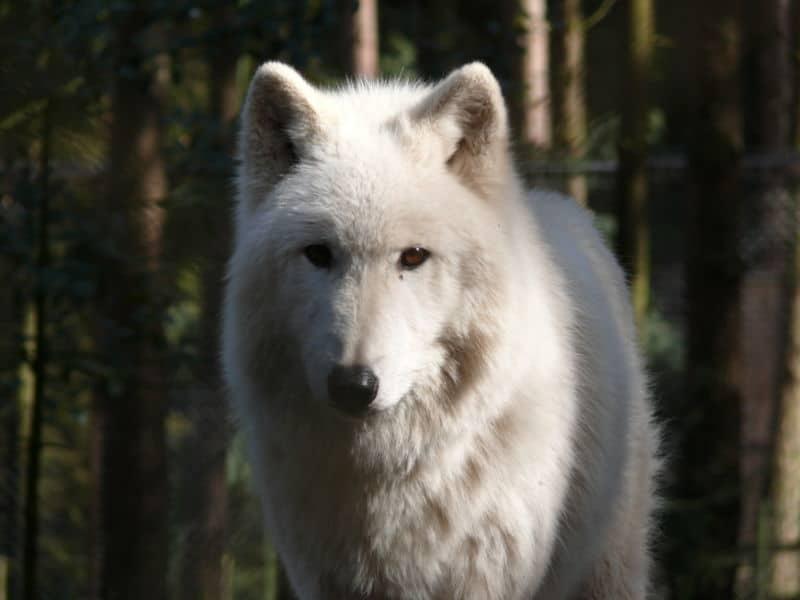Arctic Wolf Canus Lupus Arcticus Animals A Z Animals