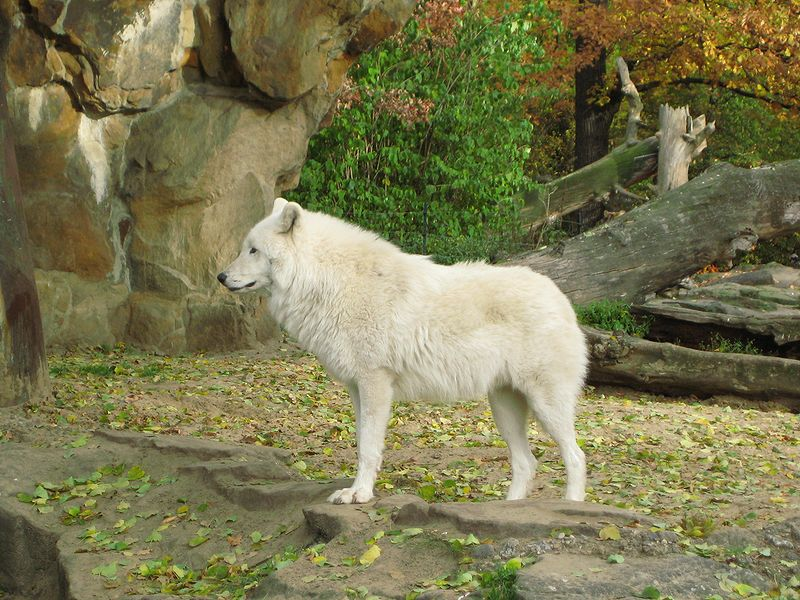 Arctic wolf standing in the grass