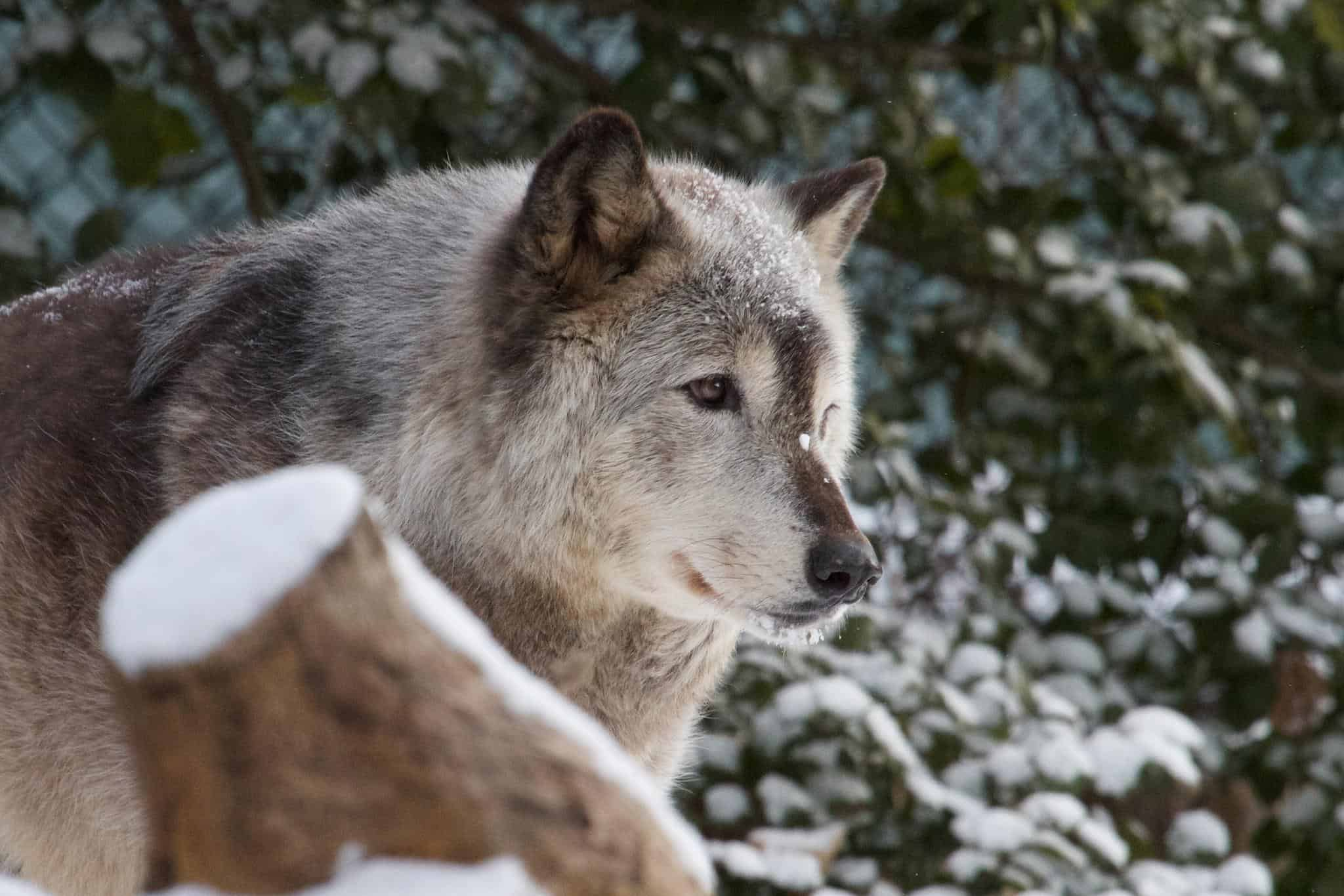 wolf essay Below is an essay on arctic wolf from anti essays, your source for research papers, essays, and term paper examples artic wolf the arctic wolf is a mammal which part of the canidae family who are carnivores.