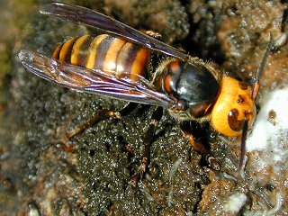 A Asian Giant Hornet