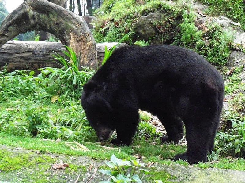 Blog 739 Black Bear Anatomy | INVESTINGBB
