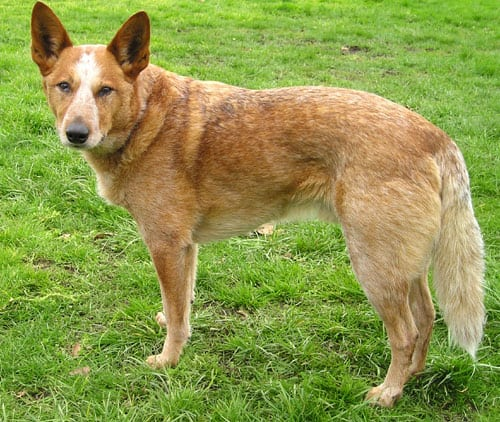 Picture 2 of 3 - Australian Cattle Dog Pictures & Images ...