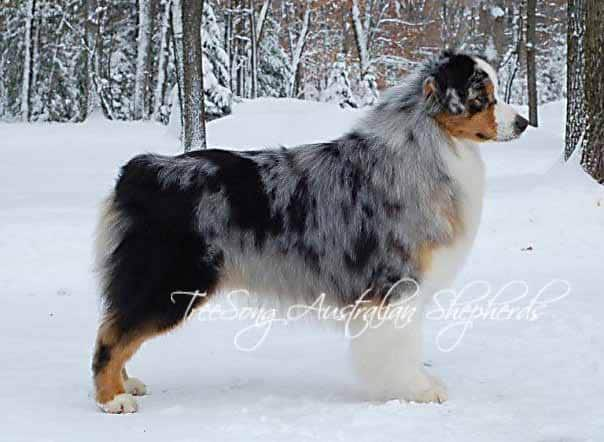 Australian Shepherd standing in the snow