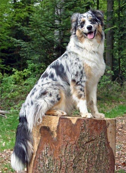 Australian Shepherd sitting on tree stump