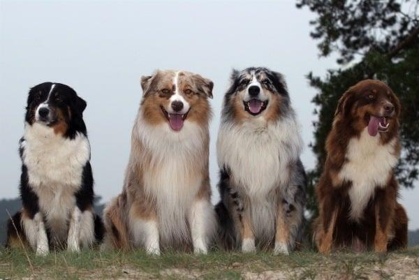 Group of Australian Shepherd dogs