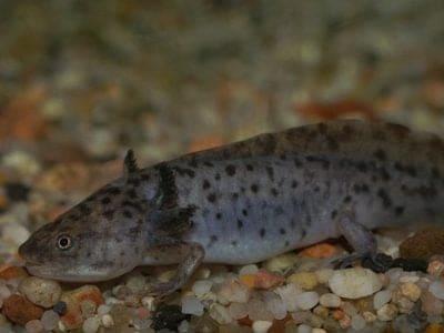 Axolotl moving among rocks under water