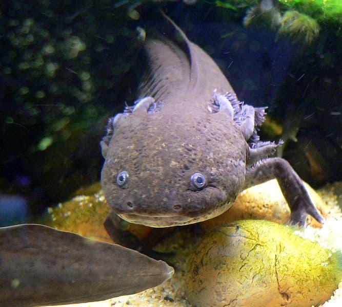 An axolotl in an aquarium in San Francisco