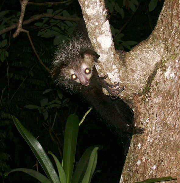 Picture 5 of 9 - Aye Aye (Daubentonia Madagascariensis ...