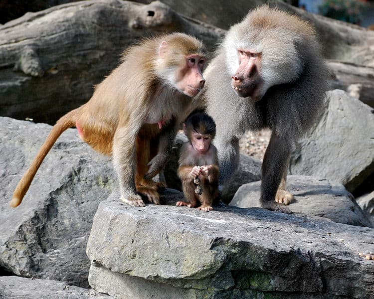 Picture 6 of 22 - Baboon (Papio) Pictures & Images ...