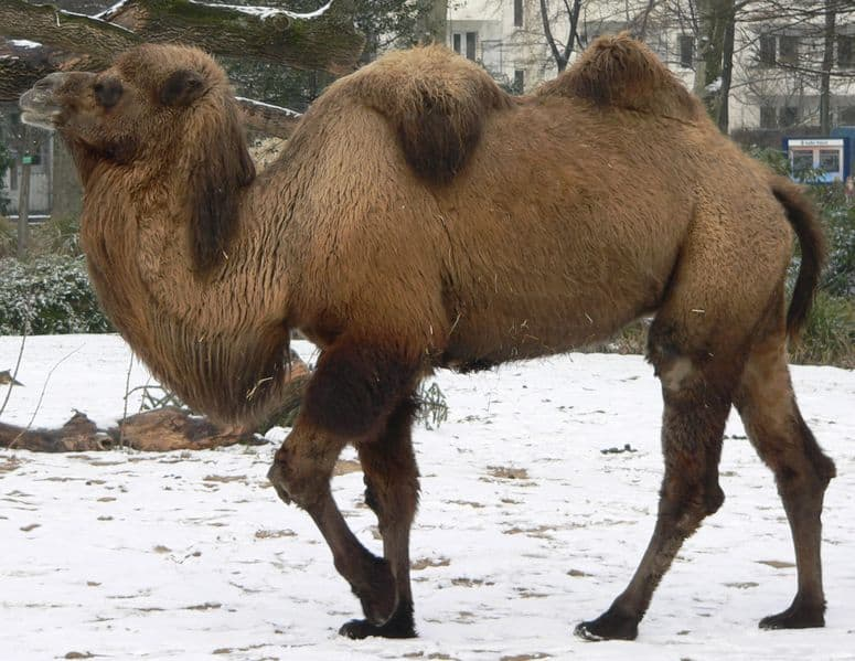 Bactrian Camel In Cologne Zoo