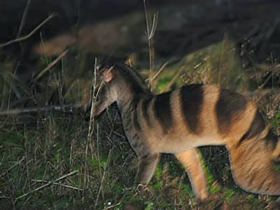 A Banded Palm Civet