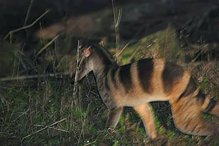 Banded Palm Civet in grass at night