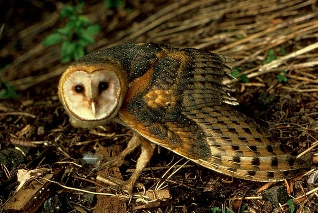 Picture 6 of 8 barn owl tyto alba pictures images for Food bar owl