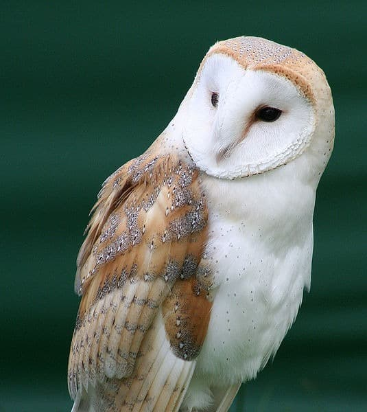 Barn Owl (Tyto Alba) - Animals - A-Z Animals