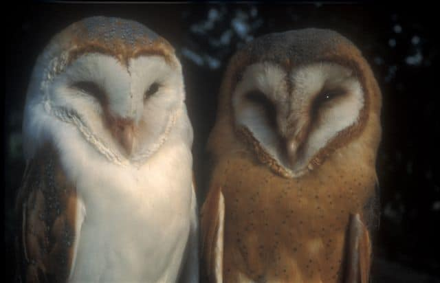 Picture 7 of 8 - Barn Owl (Tyto Alba) Pictures & Images ...