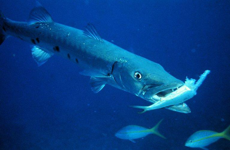 Barracuda with prey