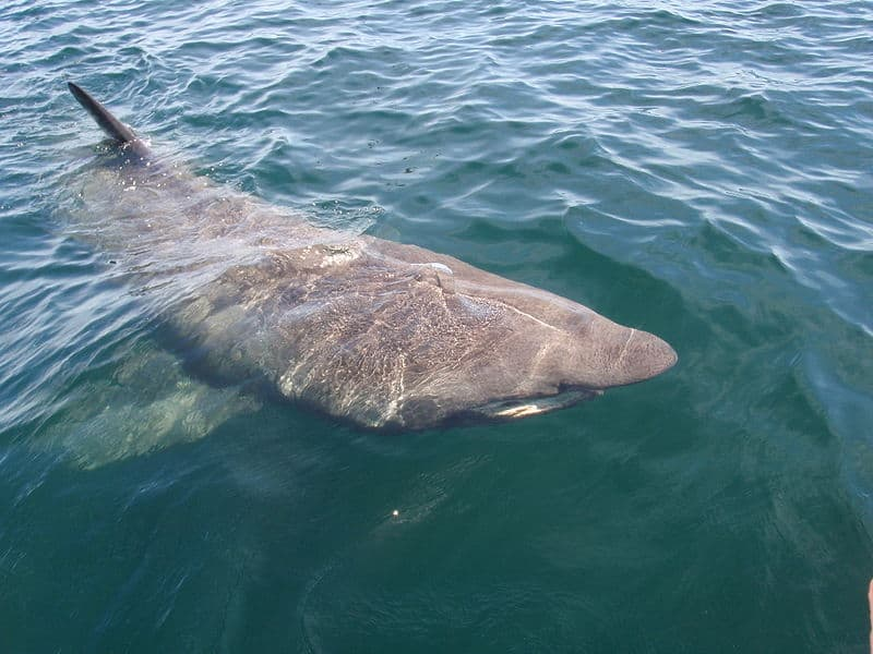 Basking Shark (Cetorhinus Maximus) - Animals - A-Z Animals ...