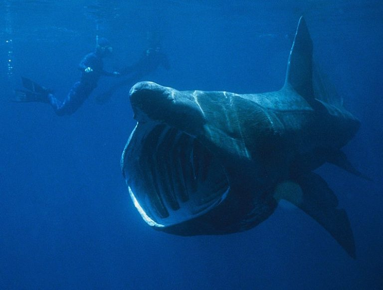 Basking Shark with mouth open
