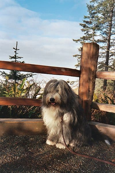 Bearded Collie sitting on the porch
