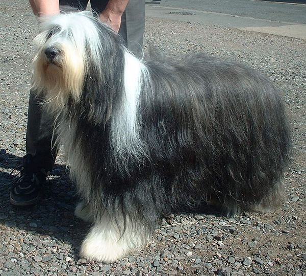 Bearded Collie standing with its handler