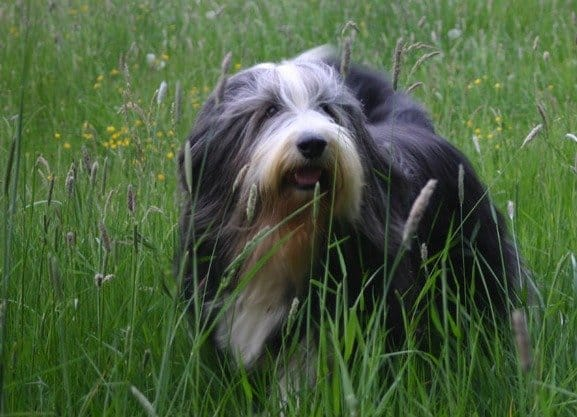 Bearded Collie standing in grass