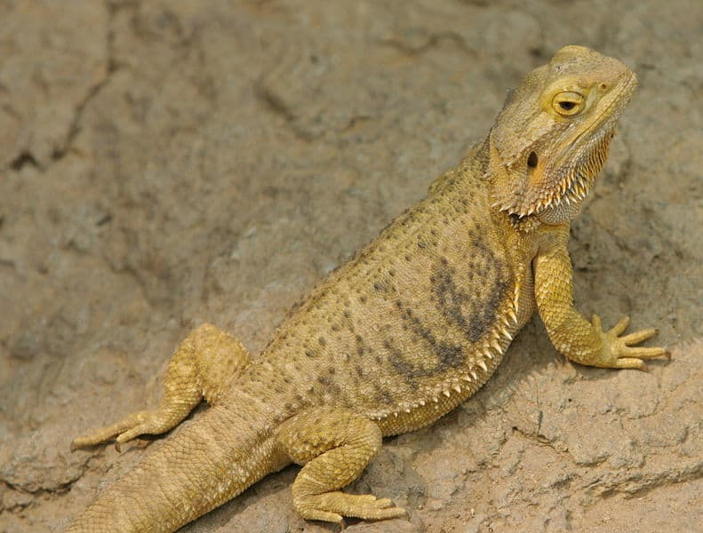 Dragon With Beard A Bearded Dragon at the