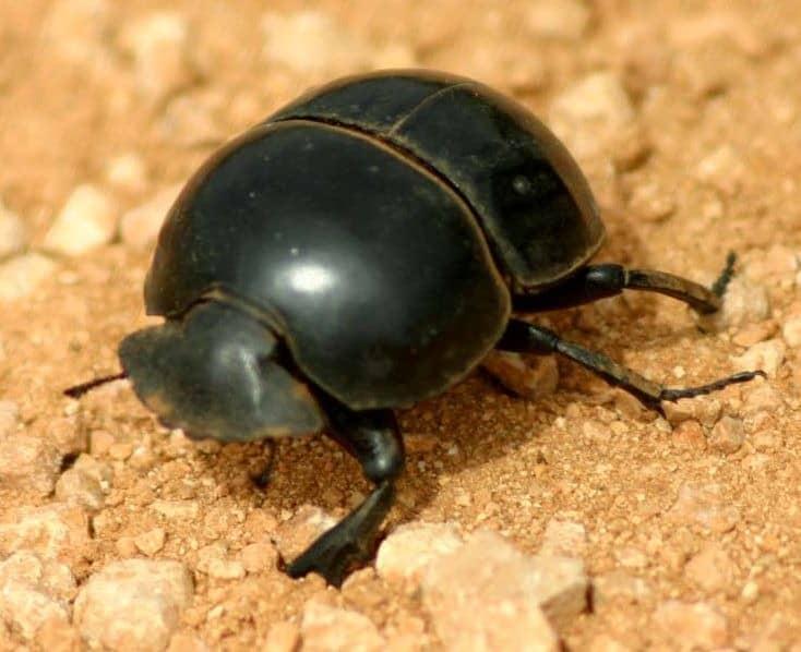 beetle coleoptera animals a z animals