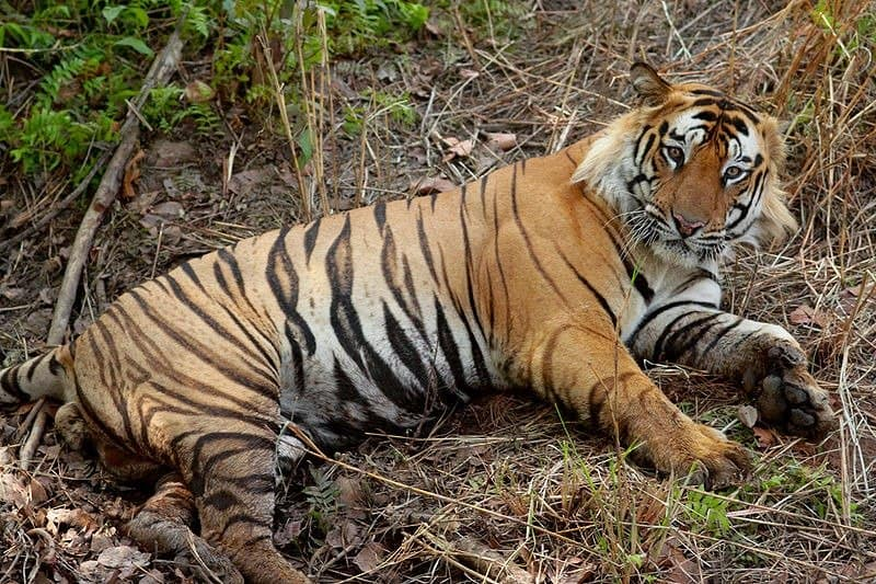 bengal tigers (Panthera tigris tigris) bengal tiger laying down
