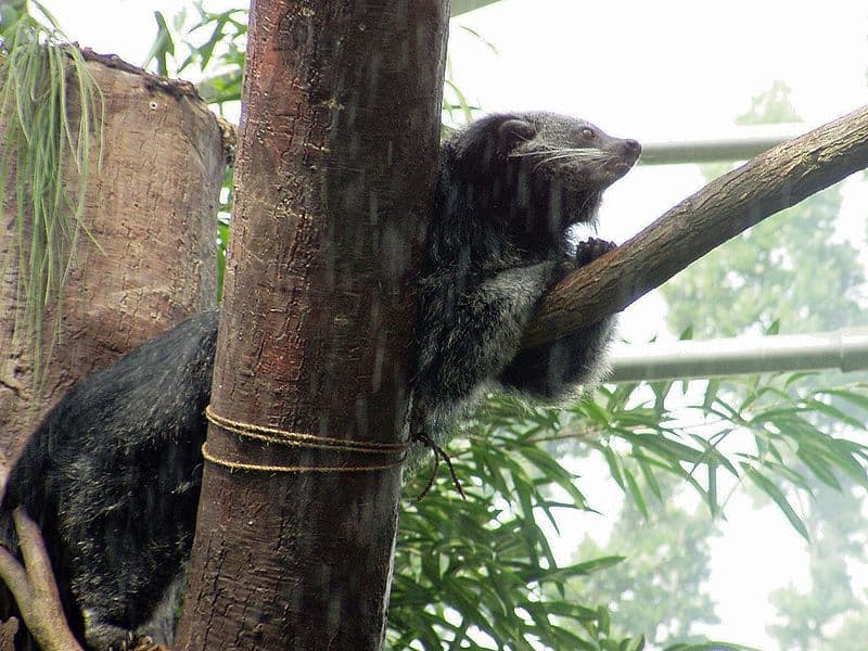 Picture 3 of 9 Binturong Arctictis Binturong Pictures Images
