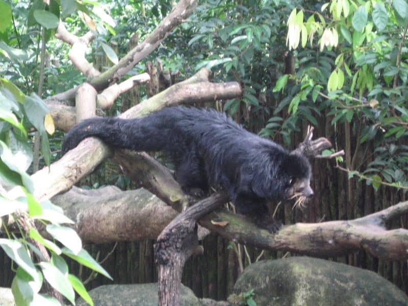 Binturong (Arctictis binturong) - Animals - A-Z Animals - Animal ...