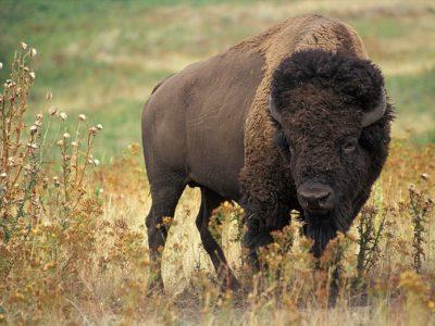 A Bison