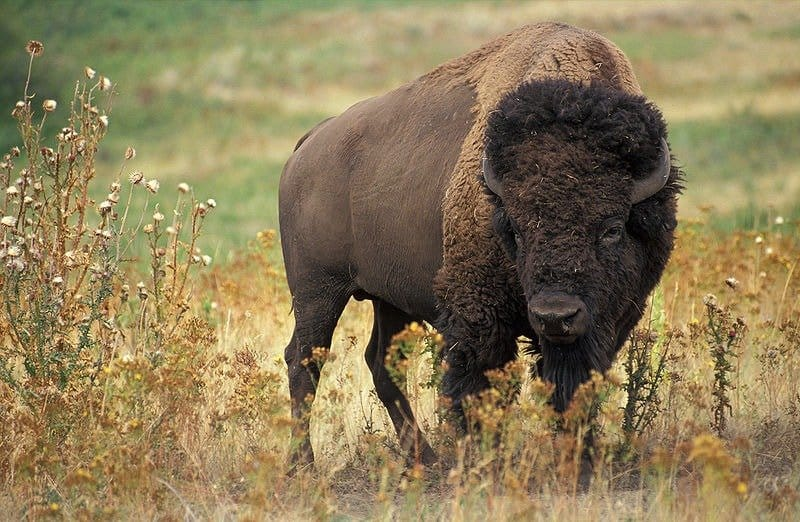 Picture of adult bison