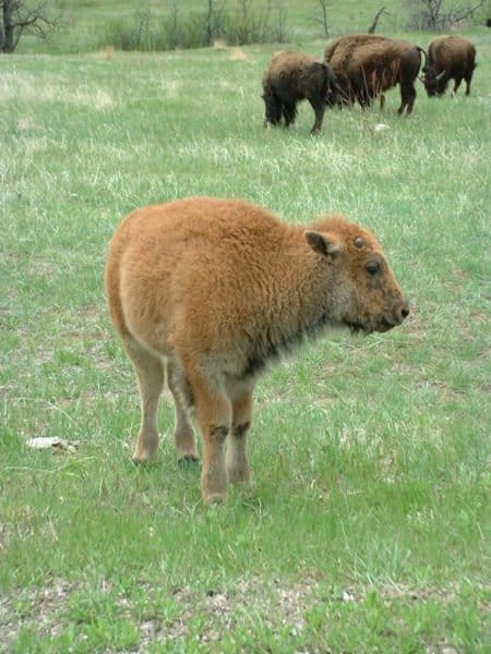 Baby bison with orange-reddish fur