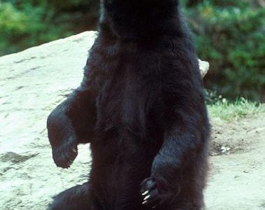 A North American Black Bear