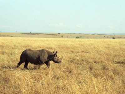 A Black Rhinoceros
