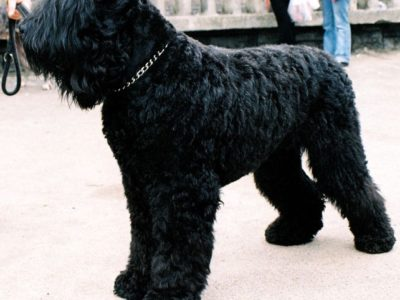 A Black Russian Terrier