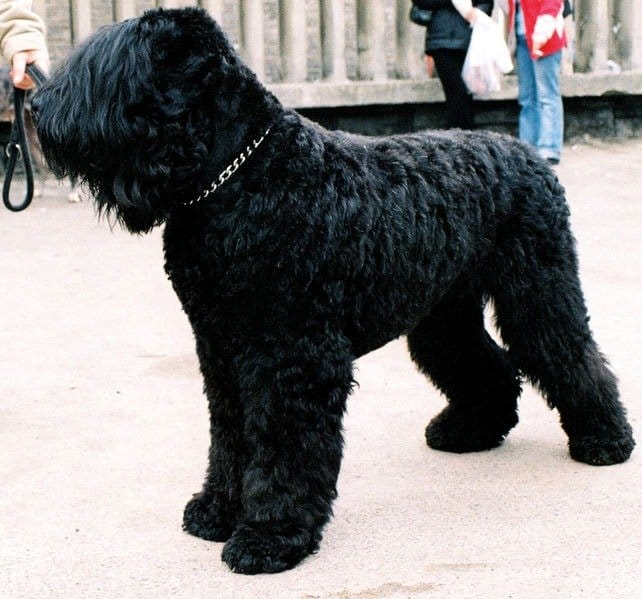 Black Russian Terrier during the international show of dogs in Katowice - Spodek, Poland
