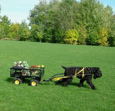 A Black Russian Terrier pulling a cart