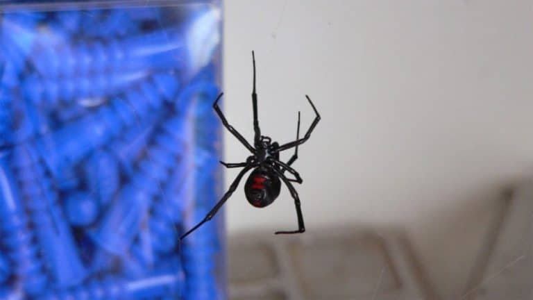 A Black Widow Spider suspended in its web.