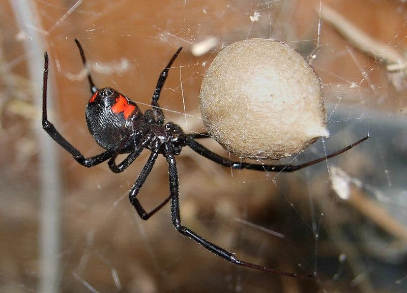 Female black widow spider guarding an egg case
