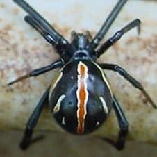 Female of unknown Latrodectus (black widow) species