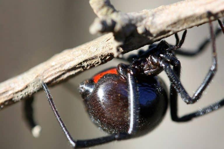Black widow spider on branch