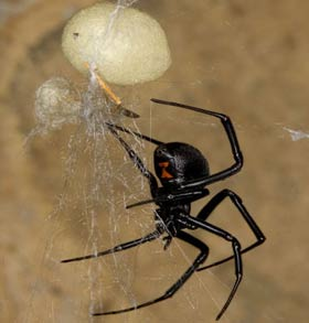 Black widow spider (Lactrodectus hesperus) and egg sac