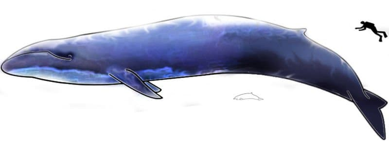 Photo A young blue whale
