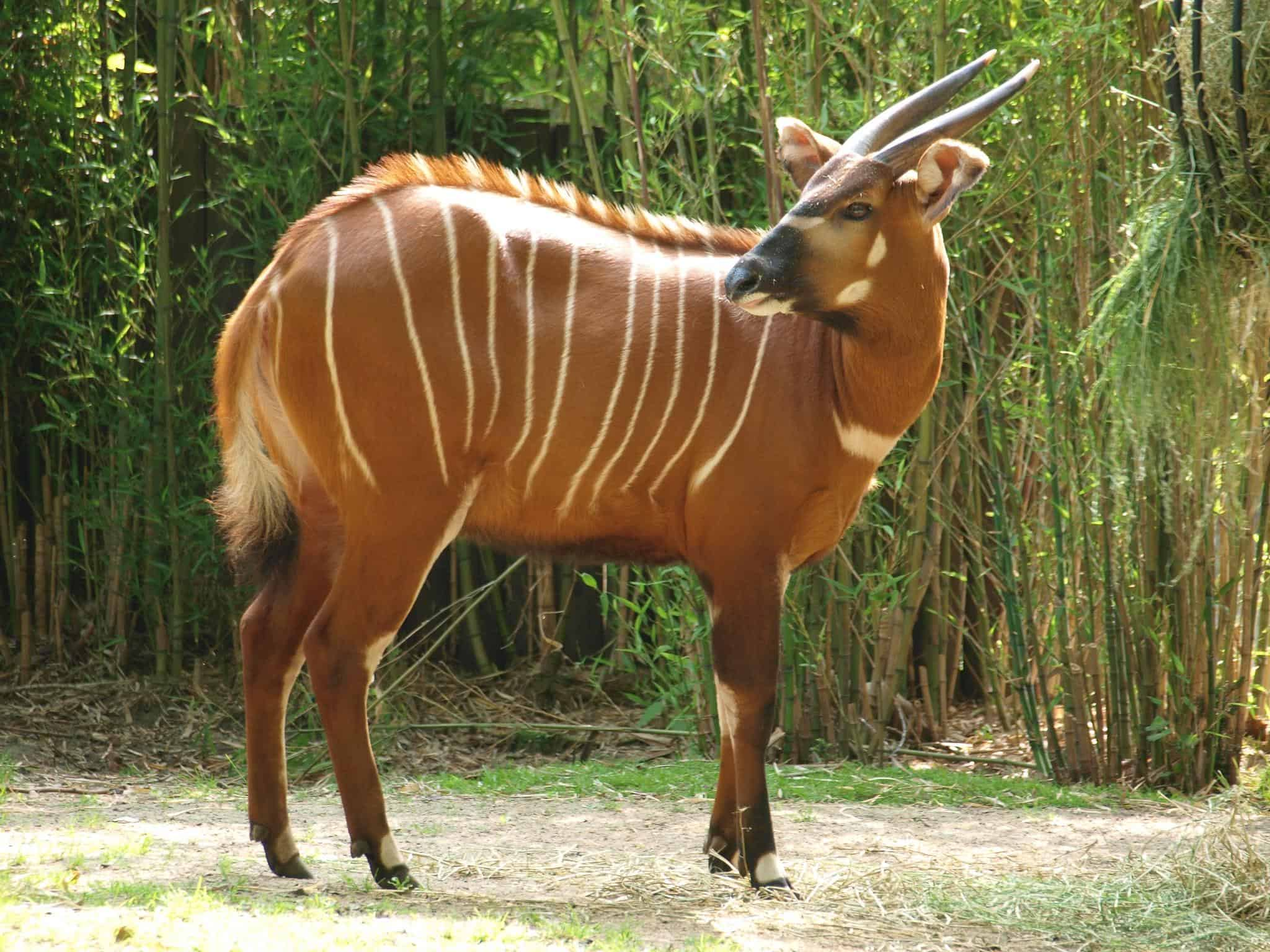 Image result for bongo animal