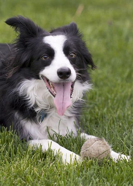 A Border Collie panting