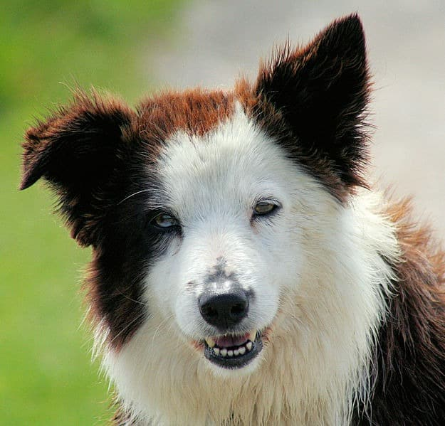 A liver-colored Border Collie with heterochromatic eyes
