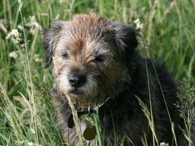 A Border Terrier