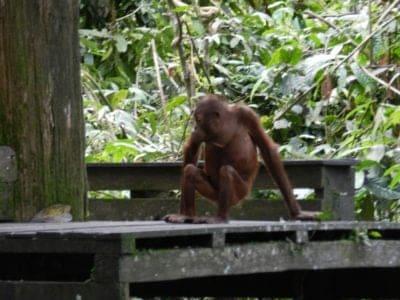 A Bornean Orang-utan