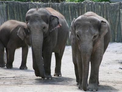 A Borneo Elephant